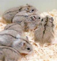 Хомяк - это маленькое млекопитающее из отряда грызунов.