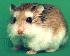 http://www.pets.kiev.ua/rodent/homjak/robovskogo.jpg