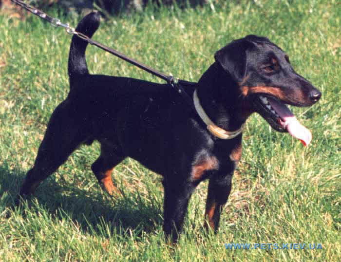 Jagdtterrier, англ.  German Hunting Terrier), порода охотничьих собак.